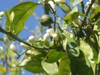 Bigaradier bio ou fleurs d'oranger sauvage 50g